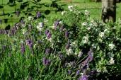 lavender & daphne