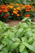 basil & marigolds