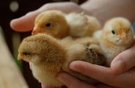 layer chicks
