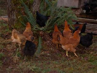 2014 Pullet Flock
