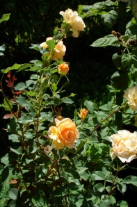 Anne Harkness rose