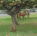 fawns in the apple orchard