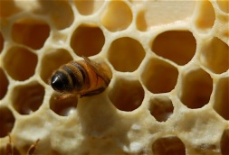 capping honey cells