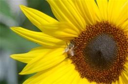 honeybee & sunflower