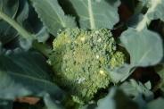 young broccoli