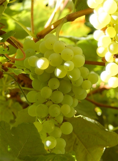 seedless table grapes