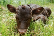 5/18/14 FullCircle Norman @ 12 hours old.
