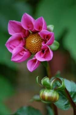 Dahlia- Bee Happy