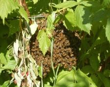 swarm in the raspberries