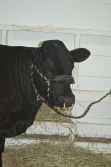 Mrald Pacific Chrome- 1 year old Dexter bull