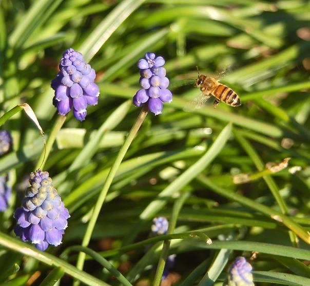 honey bee & grape hyacinth
