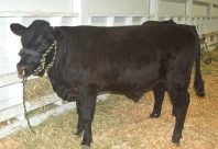 Mrald Pacific Chrome- After winning Reserve Grand Champion bull @ the Puyallup Spring Fair.
