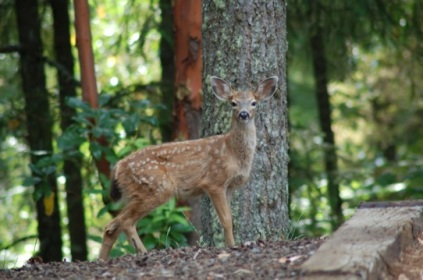 woodland fawn