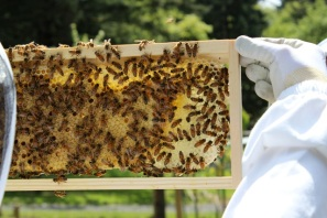 capped worker brood