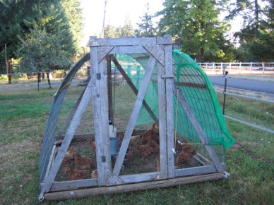 pastured fryers in the hoop coop