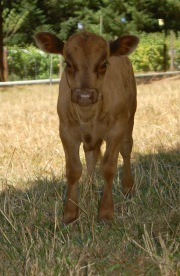 FullCircle Oliver @ 5 weeks old. Polled, Dun Bull calf.