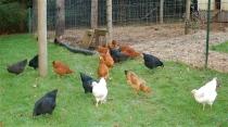 2014 layer flock