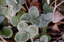 Frost on the Strawberries.