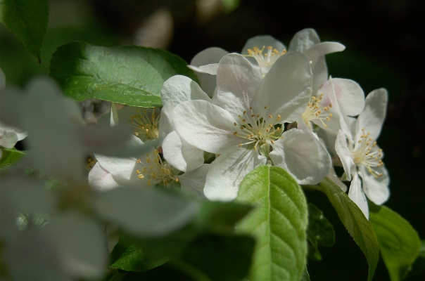 Dreaming of Apple blossoms.
