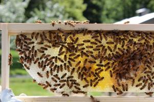 Honeybees May 2013