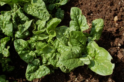 overwintered spinach