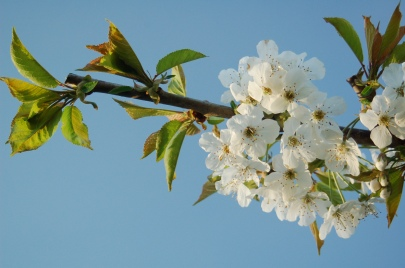sweet cherry blossoms