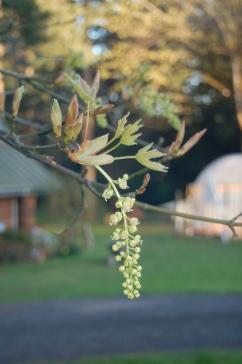 big leaf maple blossom