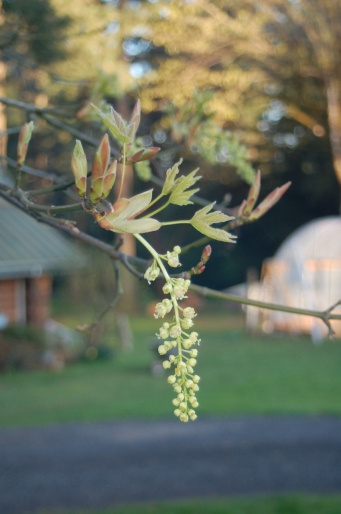big leaf maple blossom