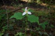 woodland trillium