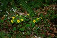 woodland violets