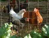 sunrise w/ the chickens
