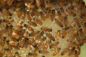 lovely ladies of the hive