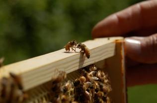 honeybee conversation