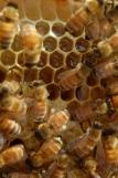 golden ambrosia