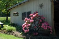 rhodie in full bloom
