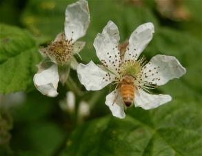 honeybee @ work