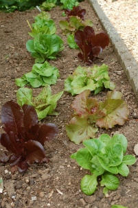 baby lettuces