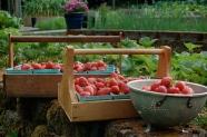 Today's harvest... Strawberries