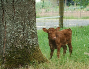 little calf... big tree