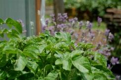 potatoes & lavender