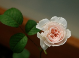 Tranquility rose
