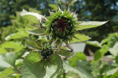 sunflower buds