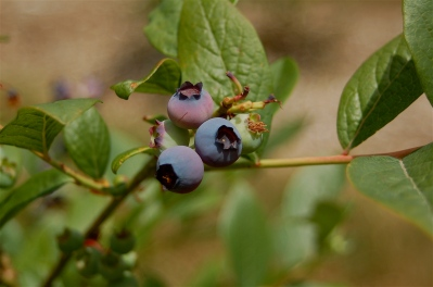 early blueberries