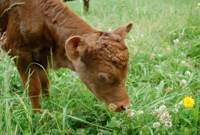 FullCircle Lucy- 2 day old, polled, red, Dexter heifer