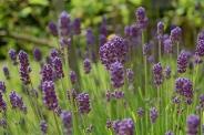 Thumbelina Leigh- lavender
