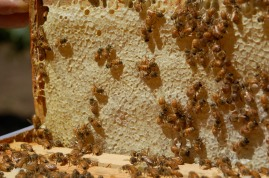 frame of capped honey