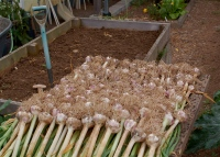 2014 garlic harvest