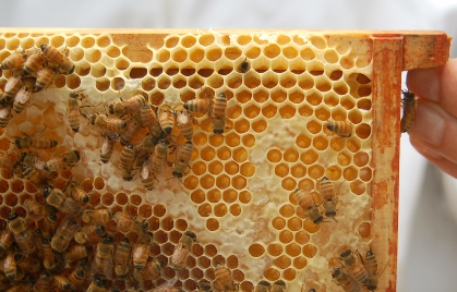 frame of honey being capped