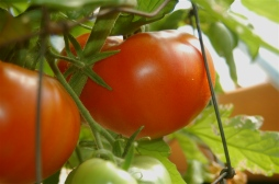 early tomato