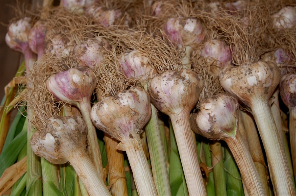 glorious garlic
